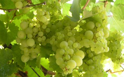 Massive Benefits from Taking Grape Seed Extract  New Study Results